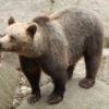 Chinese Bear